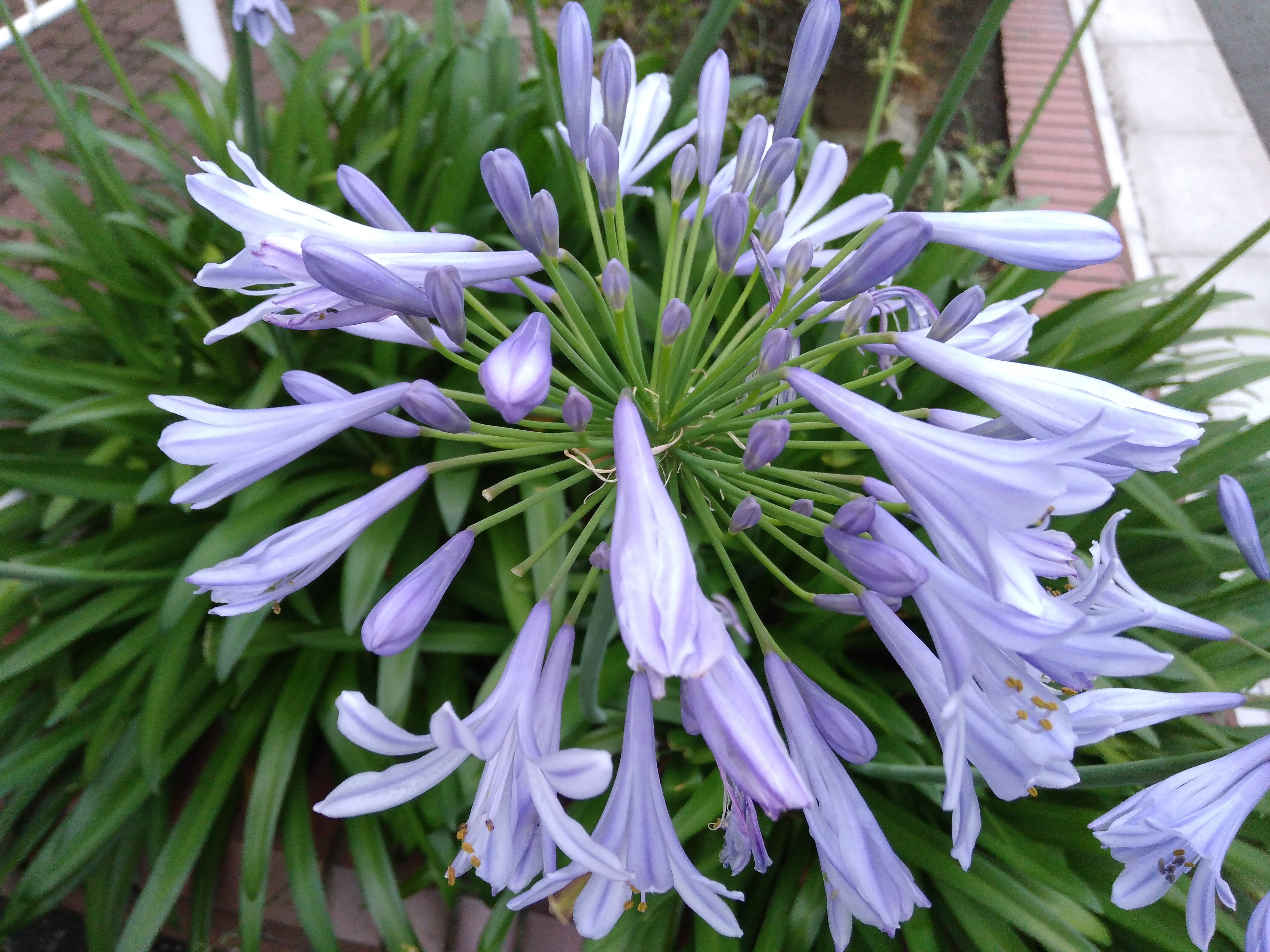 ゆりっぽい花